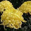 Photos: 【09月09日の誕生花】オオギク  【花言葉】『あなたを心から愛します』 ...