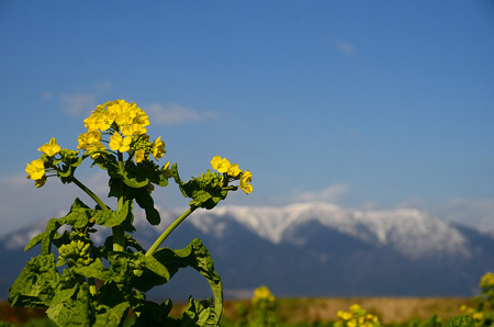 寒咲きハナナと雪の比良山