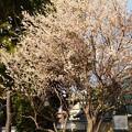 写真: 知恩寺の白梅