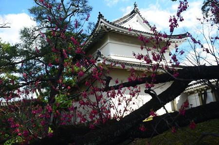 二条城の寒緋桜(カンヒザクラ)