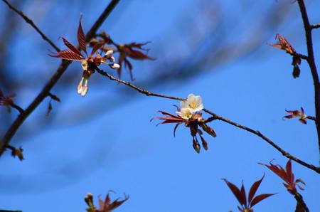 咲き始めた山桜
