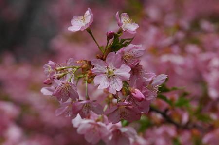 河津桜(カワズザクラ)