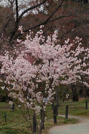 満開の細井桜(ホソイザクラ)