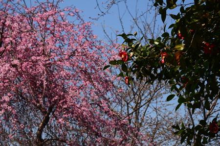 桜の前に咲く椿