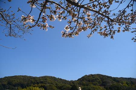 咲き始めた染井吉野