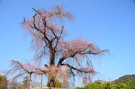 祇園枝垂れはまだちらほら咲き