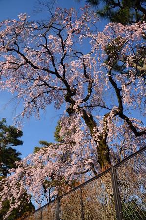武徳殿の枝垂れ桜