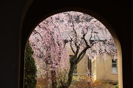 アーチの中の枝垂れ桜