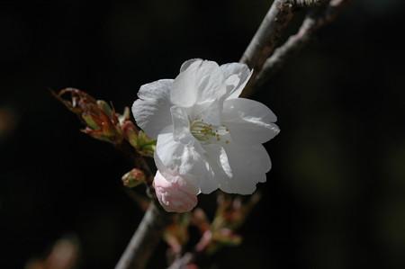 御座の間匂い(ゴザノマニオイ)