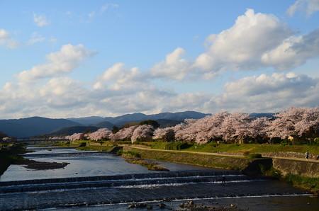 賀茂川桜並木