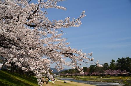 染井吉野と半木桜
