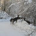 Photos: 道路脇の鹿の群れ  IMG_9366