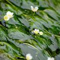 Photos: 梅花藻2