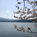 水月湖の桜