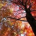写真: 見上げてごらん 昼の紅葉を