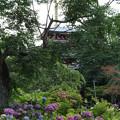 Photos: アジサイ寺