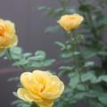 Photos: 807 グラハム・トーマス (2)