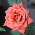 Photos: テディベア2番花