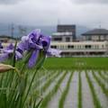 Photos: アヤメと列車