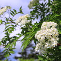 Photos: 白い花@八幡平