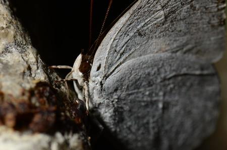 シジミチョウ科 ウラギンシジミ