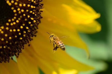 ミツバチ科 セイヨウミツバチ♀