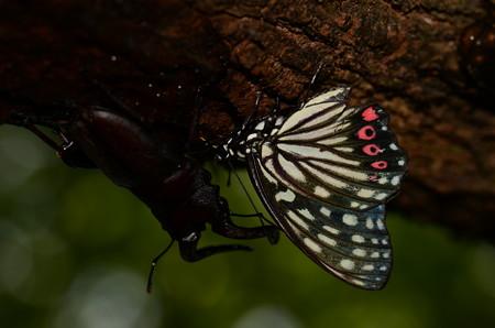 タテハチョウ科 アカボシゴマダラ