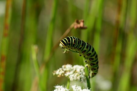 アゲハチョウ科 キアゲハ