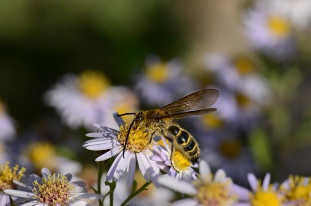 ツチバチ科 キンケハラナガツチバチ♂