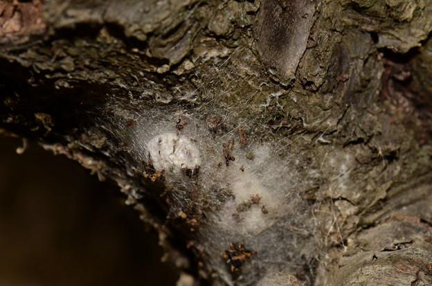 ジョロウグモ科 ジョロウグモ卵