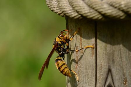 スズメバチ科 キアシナガバチ♀