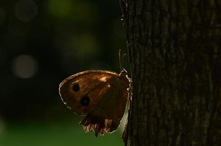 タテハチョウ科 ジャノメチョウ♀