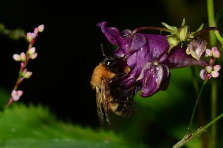 ミツバチ科 トラマルハナバチ♀
