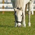 Photos: 相変わらずの驚きの白さ。今日は真ん中の草が美味しいみたい。 #アドマイヤコジーン