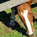 [2012日高秋1104]なかなか撮影させてもらえないけどこっちまできて草を食むところを写させてくれました。 #ヤエノムテキ