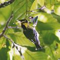 Photos: セボシカンムリガラ(Yellow-cheeked Tit) P1200759_R