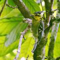 Photos: セボシカンムリガラ(Yellow-cheeked Tit) P1200741_R