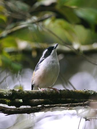アカバネモズチメドリ♂(White-browed Shrike-babbler) P1200695_R