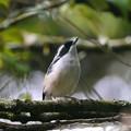 Photos: アカバネモズチメドリ♂(White-browed Shrike-babbler) P1200695_R