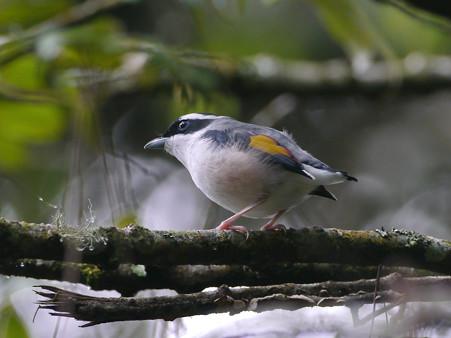 アカバネモズチメドリ♂(White-browed Shrike-babbler) P1200715_R
