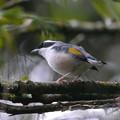 Photos: アカバネモズチメドリ♂(White-browed Shrike-babbler) P1200715_R