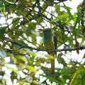 Photos: アオムネハチクイ(Blue Beared Bee-eater) P1200997_R