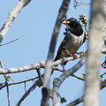 Photos: サンジャク(Red-billed Blue Magpie) P1280578_Rs