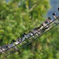 写真: ツバメ(Barn Swallow) P1000478_Rs
