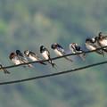 写真: ツバメ(Barn Swallow) P1000446_Rs