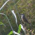 写真: アカガシラチメドリ(Chestnut-capped Babbler) P1020782_Rs