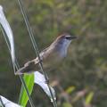 写真: アカガシラチメドリ(Chestnut-capped Babbler) P1020817_Rs