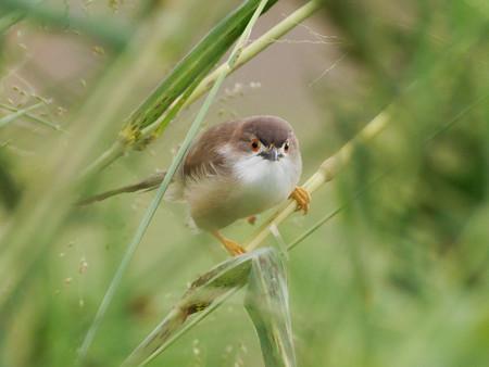 キンメセンニュウチメドリ(Yellow-eyed Babbler)P1030881_Rs