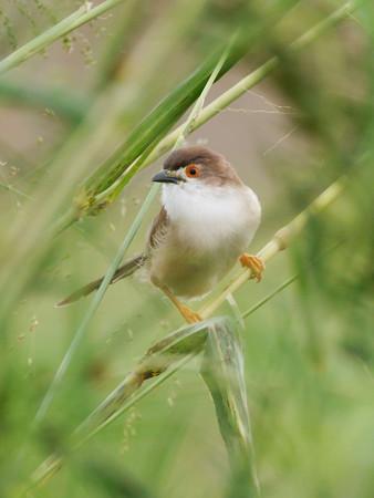 キンメセンニュウチメドリ(Yellow-eyed Babbler)P1030877_Rs