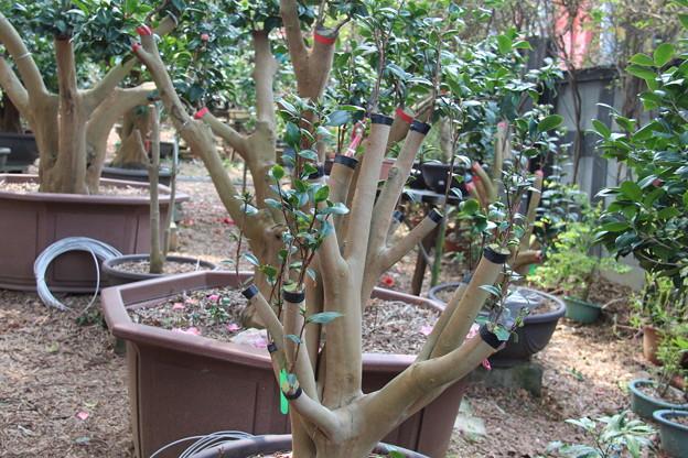椿の接ぎ木